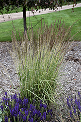 El Dorado Feather Reed Grass (Calamagrostis x acutiflora 'El Dorado') at Hicks Nurseries