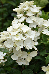 White Diamonds® Hydrangea (Hydrangea paniculata 'HYPMAD I') at Hicks Nurseries
