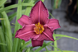 Summer Wine Daylily (Hemerocallis 'Summer Wine') at Hicks Nurseries