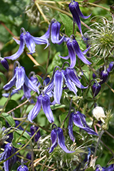Solitary Clematis (Clematis integrifolia) at Hicks Nurseries
