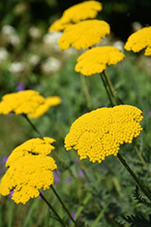 Gold Plate Yarrow (Achillea filipendulina 'Gold Plate') at Hicks Nurseries