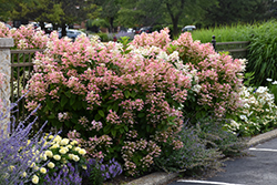 Quick Fire® Hydrangea (Hydrangea paniculata 'Bulk') at Hicks Nurseries