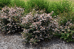Ruby Anniversary™ Abelia (Abelia chinensis 'Keiser') at Hicks Nurseries