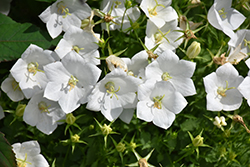White Clips Bellflower (Campanula carpatica 'White Clips') at Hicks Nurseries