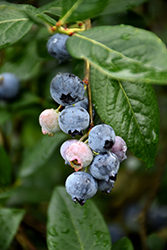 Blue Jay Blueberry (Vaccinium corymbosum 'Blue Jay') at Hicks Nurseries