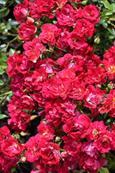 Red Drift® Rose (Rosa 'Meigalpio') at Hicks Nurseries
