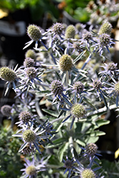 Blue Hobbit Sea Holly (Eryngium planum 'Blue Hobbit') at Hicks Nurseries