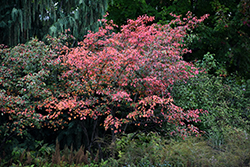 Autumn Brilliance Serviceberry (Amelanchier x grandiflora 'Autumn Brilliance') at Hicks Nurseries