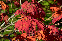 Cutleaf Fullmoon Maple (Acer japonicum 'Aconitifolium') at Hicks Nurseries