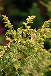 Tetragona Aurea Hinoki Falsecypress (Chamaecyparis obtusa 'Tetragona Aurea') at Hicks Nurseries