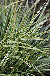 EverColor® Everest Japanese Sedge (Carex oshimensis 'Carfit01') at Hicks Nurseries