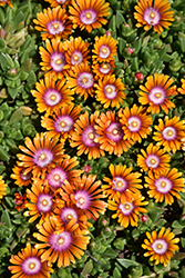 Fire Spinner Ice Plant (Delosperma 'Fire Spinner') at Hicks Nurseries