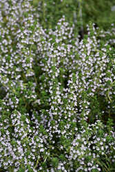 Doone Valley Thyme (Thymus 'Doone Valley') at Hicks Nurseries