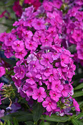 Purple Flame Garden Phlox (Phlox paniculata 'Purple Flame') at Hicks Nurseries