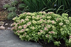 Autumn Delight Stonecrop (Sedum 'Autumn Delight') at Hicks Nurseries
