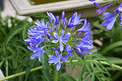 Storm Cloud Agapanthus (Agapanthus 'Storm Cloud') at Hicks Nurseries