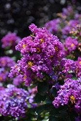 Purple Magic Crapemyrtle (Lagerstroemia 'Purple Magic') at Hicks Nurseries