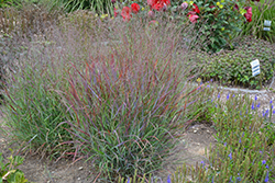 Cheyenne Sky Switch Grass (Panicum virgatum 'Cheyenne Sky') at Hicks Nurseries