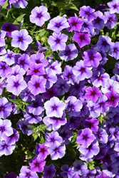 Intensia Blueberry Annual Phlox (Phlox 'Intensia Blueberry') at Hicks Nurseries