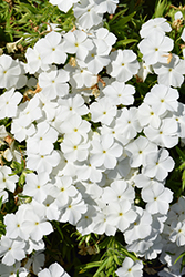 Phloxy Lady White Annual Phlox (Phlox 'Phloxy Lady White') at Hicks Nurseries